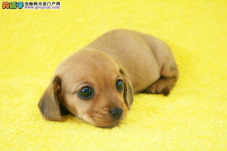 实体店1000特价!出售极品腊肠犬 质量健康