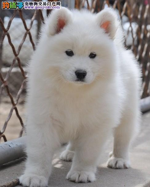 我自己家有一窝纯种银狐幼犬转让非常漂亮包健康