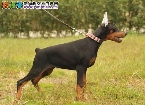 精品德系杜宾幼犬待售 红黑均有 耳朵已经立好2
