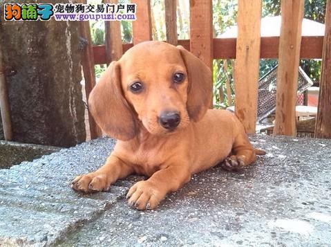 北京出售纯种腊肠犬幼犬价格低 健康信誉保证血统保证
