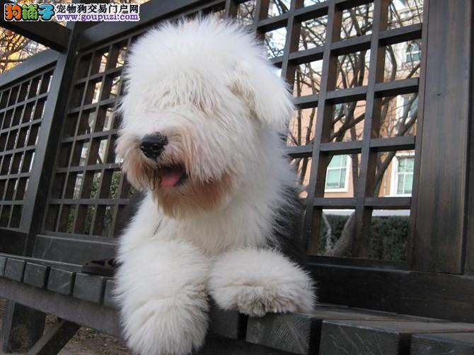 英国古代牧羊犬幼犬出售