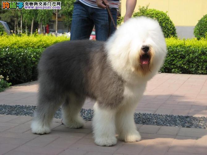 热销多只优秀的纯种郑州古代牧羊犬可以送货上门