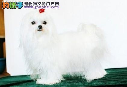 出售娇小 高贵的马尔济斯幼犬 顶级气质 明码标价