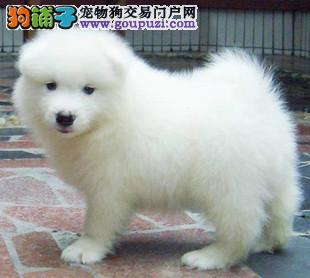 三亚自家繁殖的纯种银狐犬找主人赛级品质血统保障