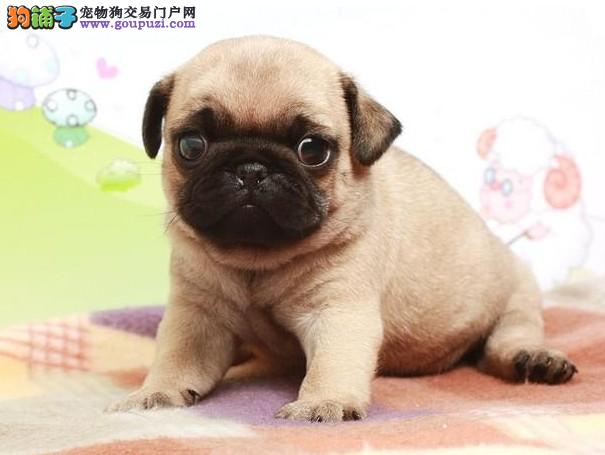 西安巴哥幼犬品质保证特惠出售公母都有三针齐可上门挑