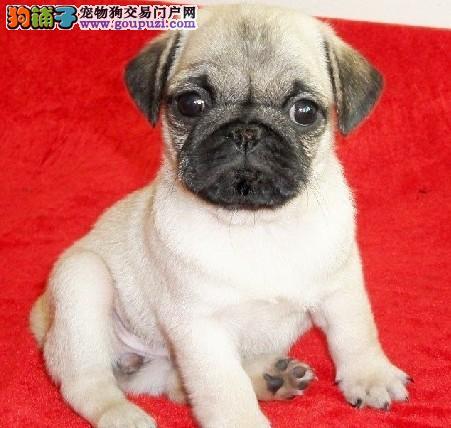 大型专业培育巴哥犬幼犬包健康签协议上门选