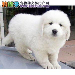 大白熊幼犬出售中、假一赔十纯度第一、签订终身合同