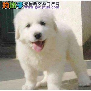 长沙出售大白熊犬包纯种健康2