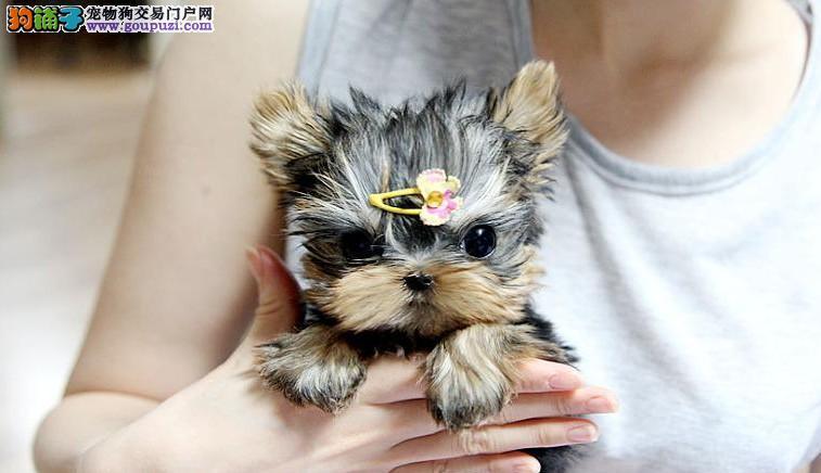 北京出售自家养殖约克夏幼犬 诚信为本约瑟犬买的放心
