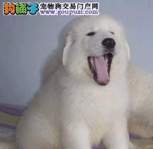 北京出售大骨架大白熊幼犬公母全有可挑选