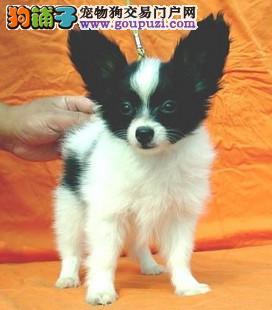 济南最大犬舍出售多种颜色蝴蝶犬签订协议终身质保