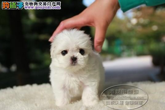 邢台纯种京巴犬出售 京巴狗颜色多可挑选健康品相好