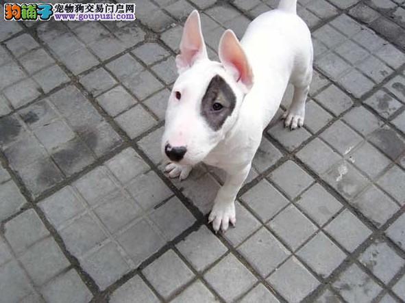 出售多种颜色抚州纯种牛头梗幼犬请您放心选购