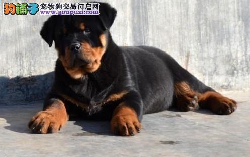 繁殖的德系罗威纳幼犬,高大威猛 四肢粗壮品相好
