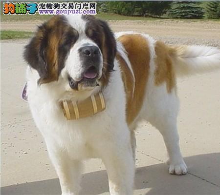 杭州出售圣伯纳幼犬。高大威猛 疫苗都已做过3