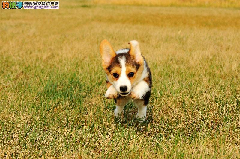 出售柯基幼犬 假一赔十纯度第一 购犬可签协议