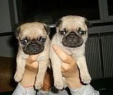 本店出售纯种漂亮的巴哥幼犬宝宝 肉肉嘴巴可爱到爆