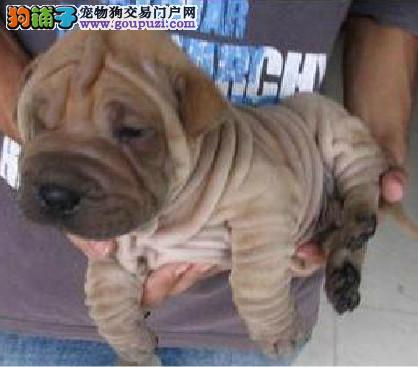 深圳哪里/边度有卖纯种沙皮犬,深圳沙皮什么地方有卖
