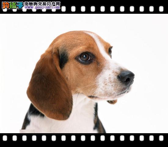 广东最大比格犬繁殖基地可供选购