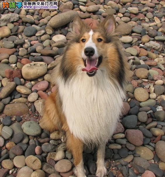 CKU犬舍认证黔西南州出售纯种喜乐蒂全国当天发货