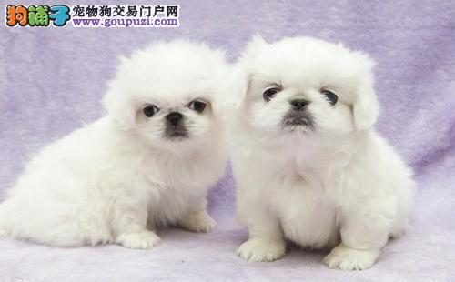 绵阳低价出售机灵聪慧 高贵温顺 可爱的宫廷京巴犬幼犬