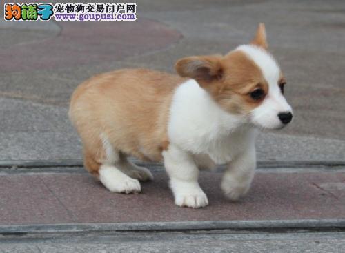 杭州市售威尔士柯基犬幼犬 优质柯基犬防疫全多只待选