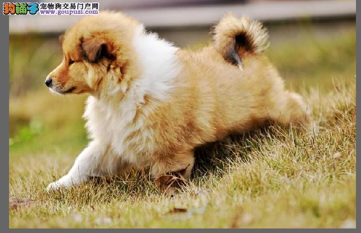 琼海市出售纯种苏格兰牧羊犬 免费饲养指导 血统纯正
