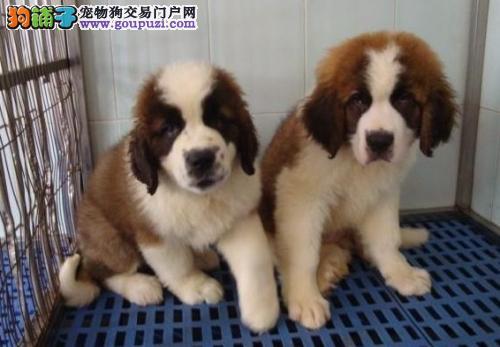 出售纯种的圣伯纳幼犬血统纯正代办空运检疫证书1
