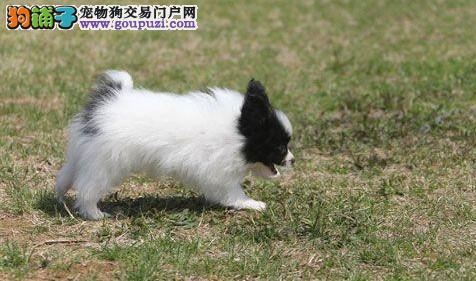 热销多只优秀的济南纯种蝴蝶犬幼犬冠军级血统品质保障