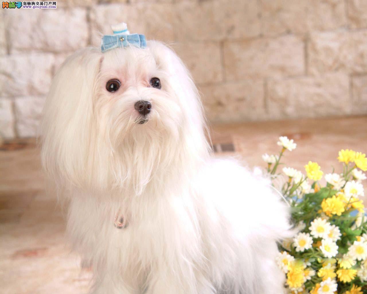马尔济斯犬进口小马杭州那里卖宠物狗健康纯种
