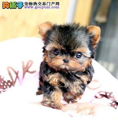 超小体型的约克夏宝宝 家养宠物的首选