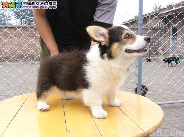 短腿柯基犬 女王犬威尔士柯基犬幼犬鄂尔多斯售公母全