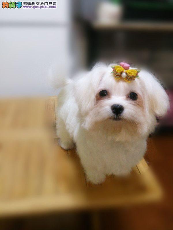 南京哪里有卖纯种的马尔济斯犬的 马尔济斯犬价格4