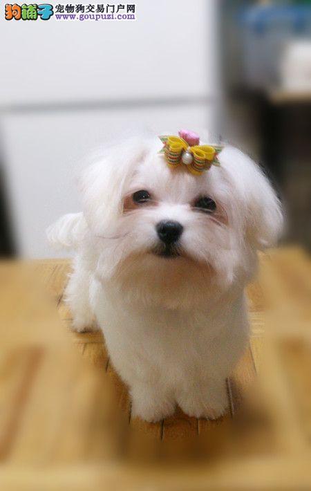 南京哪里有卖纯种的马尔济斯犬的 马尔济斯犬价格3