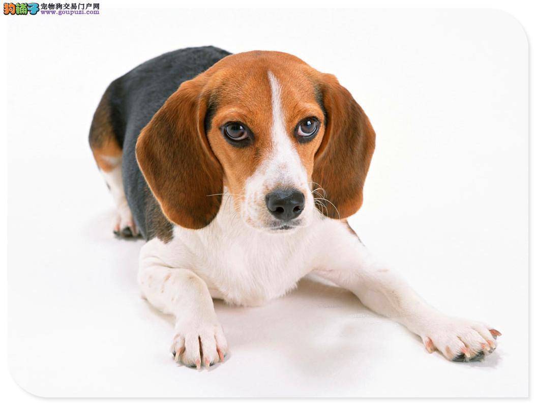上海纯种三色米格鲁比格犬幼犬 包健康可检三个月退换