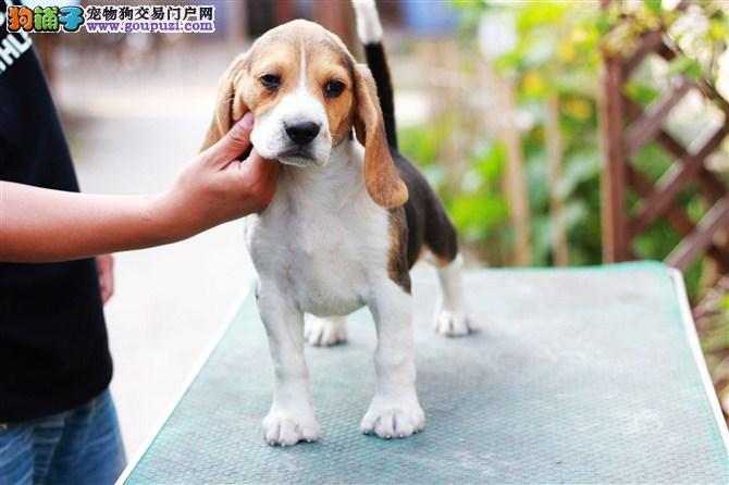 国际注册犬舍 出售极品赛级比格犬幼犬终身售后保障