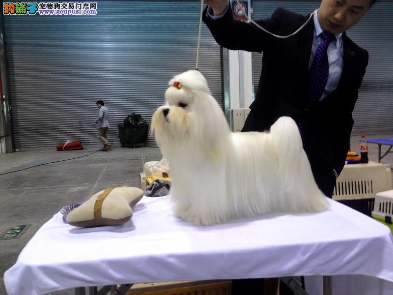 沧州市出售马尔济斯犬 公母都有 全国包邮 血统纯正