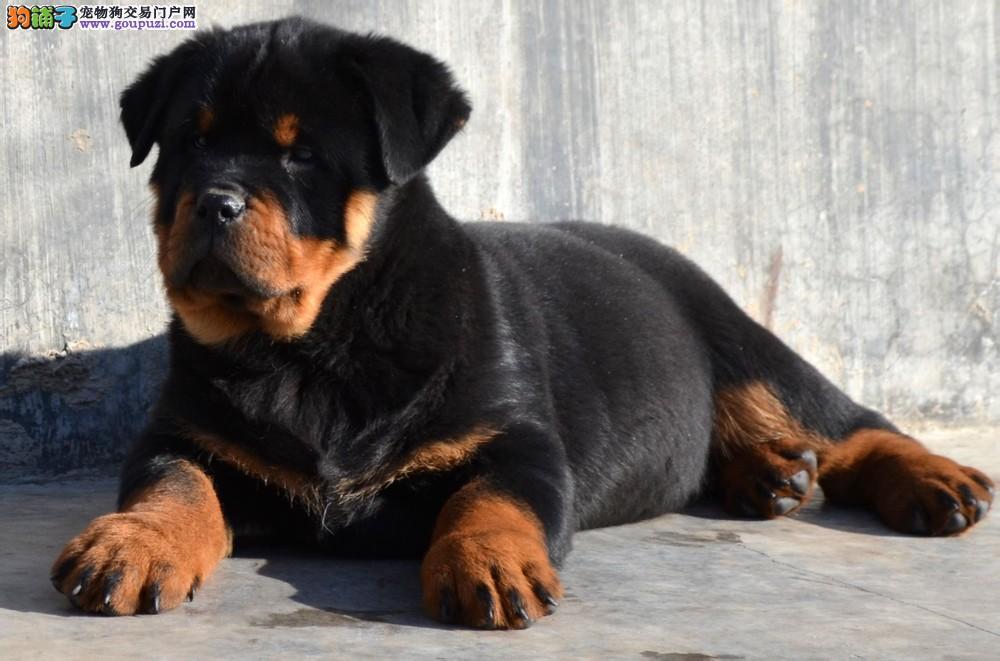 出售质保签署协议高品质罗威纳幼犬1