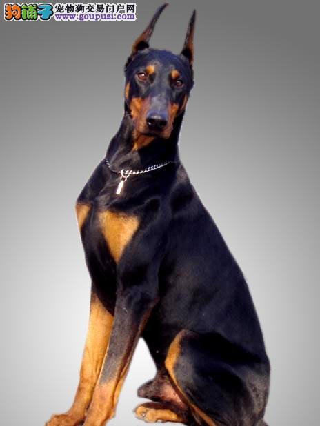 给杜宾犬做好体检包括哪些方面