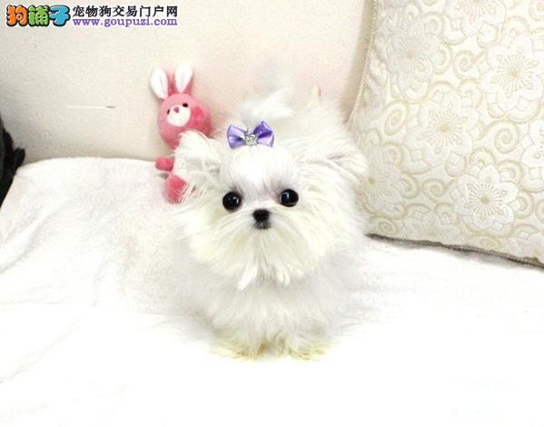 上海哪里有卖马尔济斯犬,上海马尔济斯犬多少钱价位
