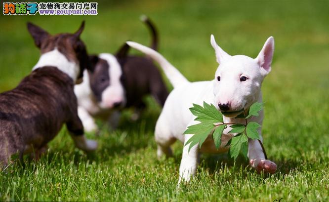 极品纯种牛头梗犬纯种健康可签协议