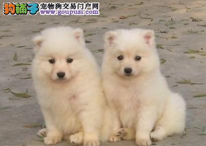 顶级的日本尖嘴银狐出售 漂亮的白色狗狗成都买