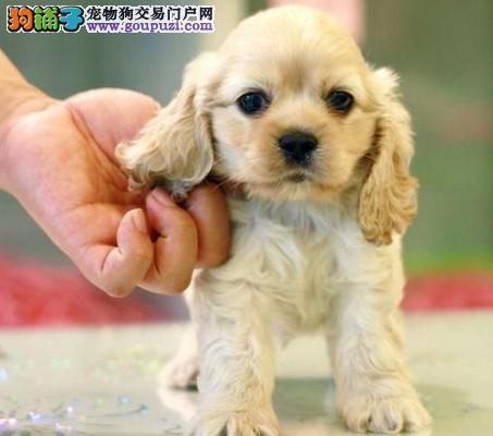 想在南京买一只可卡多少钱图片