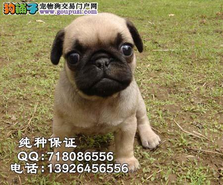 视频 惠州/惠州巴哥犬 犬舍实拍视频多只挑选