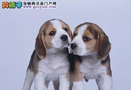 纯家养比格犬出售 保健康 签订协议 终身质保 可退换1