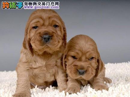 基地常年繁殖出售可卡幼犬纯种保健康