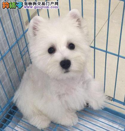 乐山体型完美的西高地幼犬出售 女神最爱 品种优秀
