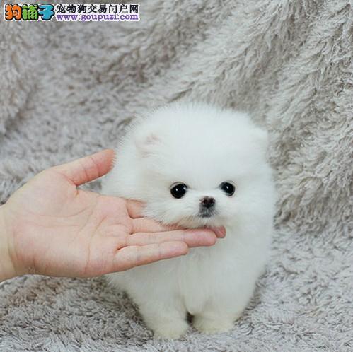 重庆茶杯犬卖多少 纯种小茶杯怎么卖 重庆茶杯犬买卖