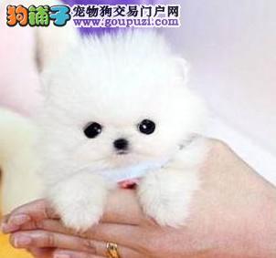 徐州超甜美茶杯犬繁殖出售中萌萌的茶杯犬欢迎实地选购