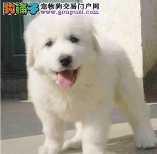 自家繁殖的纯种大白熊找主人可直接视频挑选